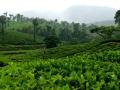 tea_plantations_palakkad