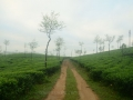 vagamon Tea plantation