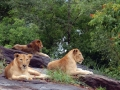 lions_at_neyyar_safari_park_kerala