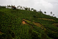tea estate _vagamon