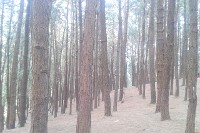 vagamon_pine forest