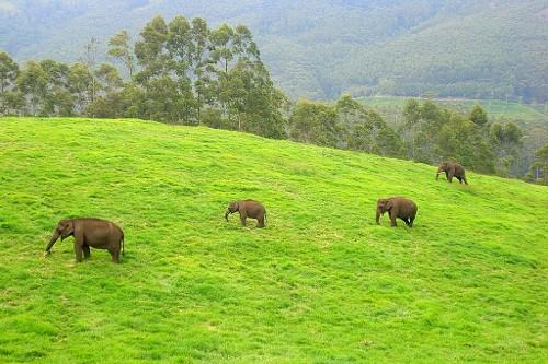 munnar elephant